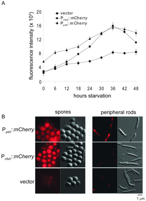 nfs genes are upregulated late during starvation induced development and expressed only within sporulating cells. A. The starvation-induced developmental program was induced in submerged culture for strains expressing mCherry fused after the promoter from pilA (PpilA::mCherry; strain PH1221), the 500 bp upstream of nfsA (PnfsA::mCherry; strain PH1220) or the vector backbone (vector; strain PH1222) in the DK1622 background. At the indicated times, mCherry fluorescence was recorded in a plate reader. B. Constructs expressing mCherry fused after the promoter from pilA (PpilA::mCherry; strain PH1221), the 500 bp upstream of nfsA (PnfsA::mCherry; strain PH1220) or the vector backbone (vector; strain PH1222) in the DK1622 background were induced to develop under submerged culture for 36 hours. Peripheral rods and fruiting body spores were separated and examined by fluorescence (left images) or DIC (right images) microscopy.