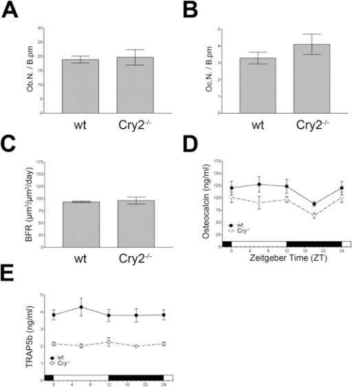 Osteoblast, osteoclast and serum parameters in Cry2−/− mice.(A) Osteoblast number per bone perimeter (Ob.N./B.pm) in 12 week old wild type and Cry2−/− mutant mice. (B) Osteoclast number per bone perimeter (Oc.N./B.pm) in 12 week old female wild type and Cry2−/− mutant mice (C) Bone formation rate (BFR) (µm3/µm2/day) in female Cry2−/− mutant mice and wild type controls. (D) Serum levels of the osteoblast activity marker osteocalcin in female wild type or Cry2−/− mutant mice. (E) Serum levels of the circulating osteoclast marker TRAP5b in 12 week old wild type and Cry2−/− mutant mice. Shown are the means±SD (panel A–C) or SEM (panel D,E) (* = p<0.05, ** = p<0.01, *** = p<0.001, ANOVA with Bonferroni post-test).