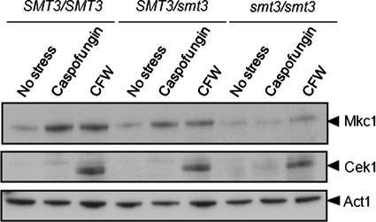 Mkc1 activation is compromised in C. albicans following inactivation of Smt3. Western blotting of the phosphorylated forms of Mkc1 and Cek1 in C. albicans following treatment with caspofungin for 5 min or calcofluor white (CFW) for 2 h: SMT3/SMT3 (BWP17), SMT3/smt3 (MLC33), and smt3/smt3 (MLC37). The Cek1 blot is a longer exposure of the same blot used to detect Mkc1.