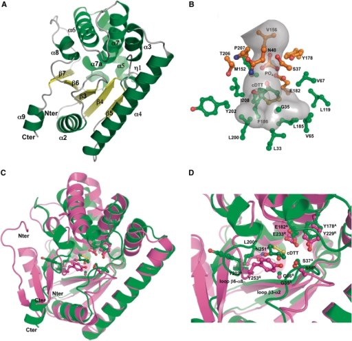 Crystal structure of S. noursei AlbC and comparison with that of M. tuberculosis Rv2275. (A) Overall structure of AlbC (region 28–236) in cartoon mode, with α helices, β-strands, and loops coloured in green, yellow and grey, respectively. AlbC secondary-structure elements are numbered according to Rv2275 numbering (12). The Rossmann-fold domain is constituted by helix α2, the C-terminal part of helix 4 and the β-sheet (β3–β5) that is extended by two additional strands β6 and β7. A helical region (in light green), composed of helices α5, α6 and α7, packs against the Rossmann fold. (B) Structure of the AlbC surface-accessible pocket. Residues that delineate the AlbC pocket are shown in ball and stick representation. The most buried part of the pocket is mainly constituted of hydrophobic residues (coloured in green). The entrance of the pocket is mainly delineated by polar residues (coloured in orange). The boundaries of the pocket, calculated using the program CAVER (58), are defined by a semi-transparent grey surface. The molecules of phosphate and cDTT modelled in the electron density are shown in orange and dark green, respectively. (C) Superimposition of the structures of AlbC and Rv2275 in cartoon representation. AlbC and Rv2275 are coloured in green and magenta, respectively. Both proteins superpose well. Most significant structural differences concern N- and C-terminus regions, and also relative positions of helices α5, α6 and α8. (D) Superimposition of the surface-accessible pockets of AlbC and Rv2275, with an orientation similar to that shown in Figure 2C. Residues represented in ball and stick are essential for CDPS activity. AlbC and Rv2275 residues are indicated by A and R letters, respectively. The superimposition highlights the structural deviations between loops β3–α2 and β6–α2, and residues Y202A and Y253R located at the entrance of the active sites.