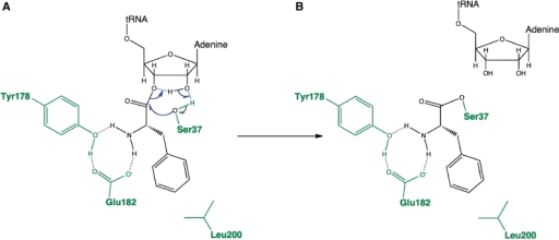 Proposed mechanism of covalent phenylalanyl-enzyme formation for AlbC. (A) Proposed anchoring of the Phe-tRNAPhe substrate at the AlbC active site. The residues S37, Y178 and E182, which are essential for the covalent intermediate formation (Figures 6 and 7), are represented in green. The residue L200, shown to interact with the phenylalanyl moiety of the substrate (Figure 5E), is also represented in green. As no residue in the AlbC active site is likely to deprotonate the hydroxyl group of S37, the S37 activation is proposed to be achieved by a concerted proton shuttling mechanism involving the two adjacent vicinal hydroxyls of the nucleotide A76 of the tRNA moiety. (B) The resulting covalent phenylalanyl-enzyme.