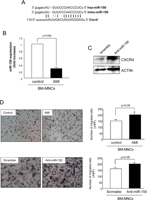 miR-150 targets Cxcr4 and regulates MNC migration.(A) A putative target site of miR-150 highly conserved in the Cxcr4 mRNA 3′-UTR as predicted by computational analysis. (B) miR-150 expression was decreased in BM-MNCs after AMI as validated by real-time PCR. (C) CXCR4 protein expression in MNCs significantly increased by transfection with miR-150 inhibitor. (D) BM-MNCs isolated from mice with LAD ligation enhanced migration capacity of BM-MNCs in response to SDF-1α as evaluated by transwell migration system. Transfection of wild type MNCs with anti-miR-150 also increased the number of migrating cells.