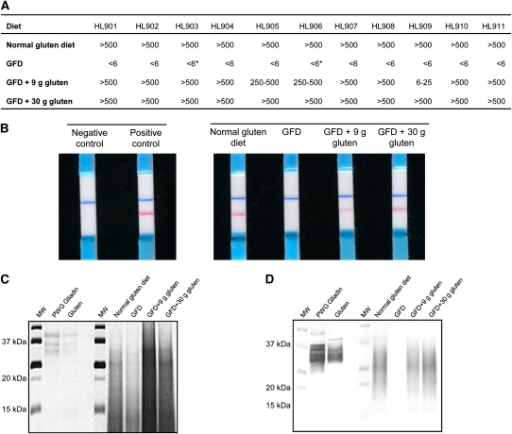 Detection of gluten in feces of healthy individuals subjected to a controlled gluten-containing diet. A: Semiquantitative analysis of gluten peptides and proteins in feces of healthy individuals by using G12 immunochromatographic strips HL901–HL911 (studied subjects: n = 11). An asterisk indicates that gluten traces were detected. B: One representative immunochromatographic-strip example of the trial performed with the samples collected during the study period for one subject. Blue stripes represent an internal positive control that indicates that the stick worked properly; pink stripes indicate the presence of gluten. C and D: SDS-PAGE and Western blot of gluten peptides and proteins extracted from feces. GFD, gluten-free diet; MW, molecular weight marker; PWG, Prolamin Working Group.