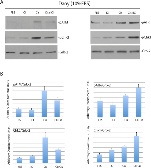 Inhibition of ERβ modulates cisplatin-induced phosphorylation of cell cycle checkpoint proteins.Panel A: Western blot analyses showing levels of the phosphorylated ATM, ATR, Chk1 and Chk2 in constitutively growing Daoy cells (10%FBS) treated with cisplatin (1 µg/ml) in the presence (Cis+ICI) or absence (Cis) of ICI182,780 (10 µM). The cells without treatment (FBS), or cells treated with ICI182,780 only (ICI) were used as controls. Panel B: Densitometry of Western blots depicted in Panel A evaluated by EZQuant-Gel 2.17 software. Levels of pATM, pATR, pChk1 and pChk2, were normalized with the corresponding levels of Grb-2. Data represent averages obtained from densitometric measurements of 3 blots with standard deviation and each band was normalized with corresponding loading control, Grb-2.