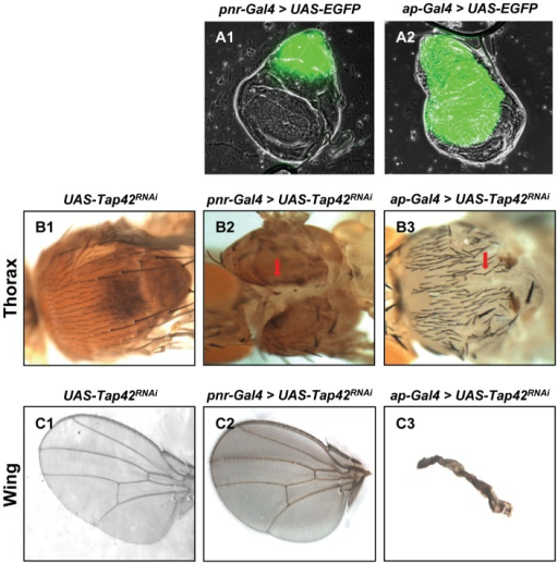 Silencing of Tap42 in wing discs leads to pleiotrophic defects that include deformed thorax and wings.pnr-Gal4 and ap-Gal4 imaginal disc drivers were used to drive expression of EGFP or Tap42RNAi in Drosophila. Wing discs obtained from 3rd instar larvae expressing EGFP (green) reveal the pnr-Gal4 (A1) and ap-Gal4 (A2) expression domain in wing discs. Control flies harboring the UAS-Tap42RNAi construct lacked any noticeable defect in the adult thorax (B1, with head left) or wing (C1, with wing margin to left). Tap42RNAi expression using the pnr-Gal4 driver caused a marked cleft phenotype on the adult thorax (B2, red arrow) with no notable defects in fly wing (C2). Silencing the Tap42 gene with the ap-Gal4 driver resulted in a thorax cleft phenotype ranging in severity from mild (B3, red arrow) to severe (Fig. 6-B1) as well as drastically shriveled wings (C3). Genotypes: (A1) UAS-EGFP/+; pnr-Gal4/+. (A2) ap-Gal4/UAS-EGFP. (B1 & C1) UAS-Tap42RNAi/+ as control. (B2 & B3) UAS-Tap42RNAi/+; pnr-Gal4/+. (C2 & C3) ap-Gal4/UAS-Tap42RNAi; +/+.
