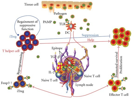 The effects of TLR on T-cell activation. PAMPs from invading pathogens bind with TLRs expressed in DCs, which causes DC activation. Activated DCs migrate to the draining lymph nodes where, in the presence of co-stimulatory signals and instructing cytokines, they present the antigen epitope with MHC molecules to activate naive T cells. DCs also induce iTreg in the presence of TGF-β and IL-2. These activated T cells move to the site of infection to fight against the invading pathogen. Activation of TLRs in activated T cells induces their survival and clonal expansion. Direct engagement of TLR in iTreg cells promotes their expansion with reduced suppressive function and reprograms them to differentiate into T helper cells, which in turn provide help to effector cells. When the infected pathogen is eliminated, the clearance of TLR ligands results in the suppressive function of the expanded iTreg cells being restored. This serves to regulate the expanded effector T-cell population.