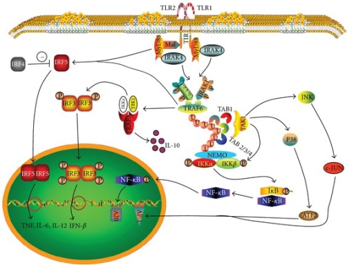 MyD88 signal pathway. MyD88 is the universal adaptor of all the identified TLRs except TLR3. In this figure, TLR1/TLR2 is used to illustrate the MyD88 signal pathway. TLR1/TLR2 uses triacryl lipopeptide as the ligand to recruit MyD88 via its cytoplasmic TIR domain. MyD88 interacts with DD to associate with IRAK4. IRAK4 then phosphorates IRAK1 and IRAK2 activates TRAF6. TRAF6 induces the synthesis of polyubiquitin chains that links TRAF6, NEMO, IRAK1 and TAB2, 3, 4. The ubiquitination of TAB2/3/4 in association with TAB1 activates TAK1. This induces phosphorylation of IKK complex resulting in the dissociation of IκB and NF-κB. NF-κB then translocates into nucleus to induce the gene transcription of proinflammatory cytokines. TAK1 also activates JNK and p38 which induce AP1 activation. MyD88 and TRAF6 both activate IRF5 and induce proinflammatory cytokines. This activation is inhibited by IRF4. TRAF6 also interacts with TRAF3 and then recruits TBK1 to activate IRF3 and IFN-β production. TRAF3 alternatively induces the anti-inflammatory cytokine IL-10.