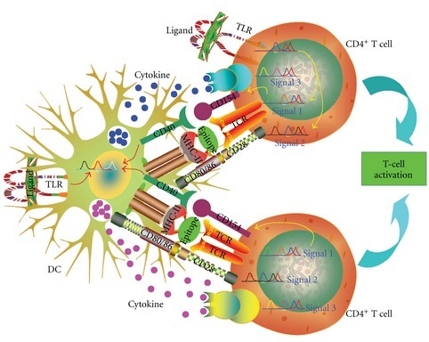 Costimulation of T cells. Antigen uptake by DCs is followed by epitope presentation by MHC complex molecules to TCR expressed on T-cells surface (signal 1). Upon TCR-activation signal, T cells produce CD154 to bind CD40 on the cell surfaces of DCs to further activate DCs. After interacting with TLRs, DCs express CD80 and CD86 which combine with CD28 in T cells for costimulation of T cells (signal 2). Activated DCs also produce cytokines to instruct T cells for polarized differentiation (signal 3). TLRs expressed in T cells act as co-stimulatory molecules in T-cell activation by reducing the activation requirements for signals 1 and 2 and generating efficient memory T cell in response to a weak signal 1. Some TLR ligands even can induce signal 2 in the absence of CD28 via activation of TLR expressed on T cells.