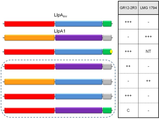 Differential inhibitory activity of wild-type LlpABW and LlpA/LlpA1 domain chimers.The domain structures of LlpABW (as in Figure 4) and of LlpA1 (inferred by pairwise alignment; N-domain in orange, C-domain in purple and C-terminal extension in grey) are depicted, along with those of chimeric forms (in dashed box). The LlpA variant lacking the terminal phenylalanine residue is marked with a yellow hexagon. Inhibitory activity of the respective E. coli recombinants was tested with diagnostic indicators for LlpABW (P. syringae GR12-2R3) and LlpA1 (P. fluorescens LMG 1794). Halo sizes are semi-quantified according to size of the growth inhibition halo (+++, native halo size of LlpABW and LlpA1; ++, halo size reduced; C, local clearing confined to producer colony spot; −, no halo or clearing; NT, not tested). Additional chimeric and domain deletion constructs not conferring bacteriocin activity against one of the indicator strains are specified in Figure S11.