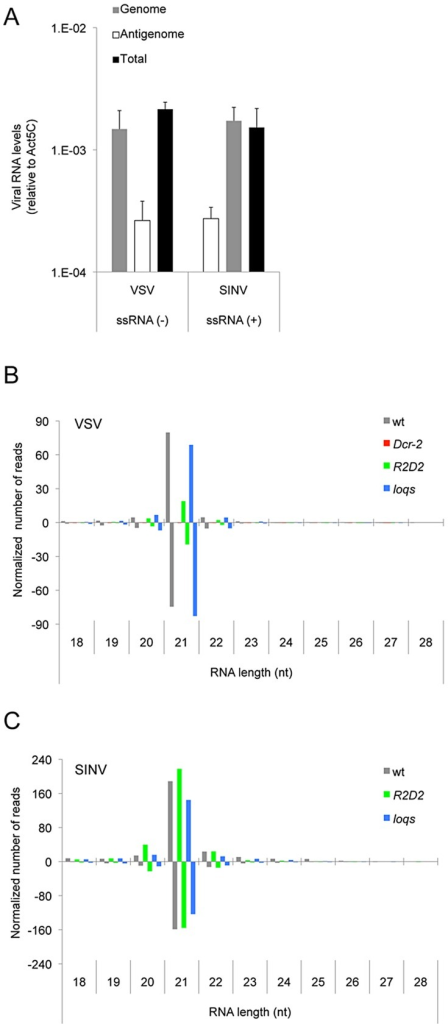 vsiRNA abundance is dependent on Dcr-2 but not Loqs-PD.(A) Levels of the genome RNA strand, antigenome RNA strand, and total virus RNA from VSV and SINV infected animals 48 hours post infection. The polarity of SINV and VSV genomes are indicated. (B,C) Normalized levels of sequenced small RNAs of different size that match the VSV (B) and SINV (C) genomes. Shown are levels after infection of wildtype (wt), Dcr-2, R2D2 and loqs mutants. Bars above the midline denote positive-stranded small RNAs, and bars below the midline denote negative-stranded small RNAs.