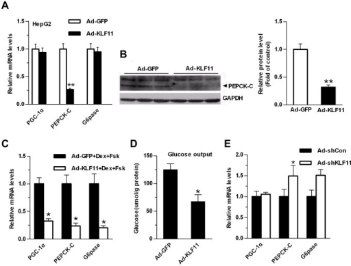 KLF11 regulates the expression of the gluconeogenic genes in HepG2 cells and mouse primary hepatocytes.(A) qRT-PCR analysis of the mRNA expression levels of gluconeogenic genes in HepG2 cells infected with adenoviruses Ad-GFP or Ad-KLF11. (B) Western blot analysis of the protein levels of PEPCK-C in HepG2 cells infected with Ad-GFP or Ad-KLF11 adenoviruses. GADPH was used to show the similar amount of protein loaded in different lanes (Left panel). The relative intensities of PEPCK-C bands on the Western blot were determined using NIH Image 1.62 software and normalized using GADPH band intensity (Right panel). (C) qRT-PCR analysis of the mRNA expression levels of gluconeogenic genes in primary hepatocytes infected with adenoviruses Ad-GFP or Ad-KLF11. At 24 hr after infection, hepatocytes were switched to starvation media for 6 hr, followed by treatment with 10 µM forskolin and 1 µM dexamethasone for 1.5 hr. (D) Measurement of cellular glucose production in primary hepatocytes as described in Fig. 3C. (E) qRT-PCR analysis showing the expression levels of gluconeogenic genes in primary hepatocytes infected with control Ad-shCon or Ad-shKLF11. Hepatocytes were grown for 2 days post-infection in RPMI-1640+10% FBS. The data shown were the means ± SEM (n = 3). Statistical significance was determined using a two-tailed Student's t-test. * on each bar indicated the comparison between Ad-KFL11 and Ad-GFP infection (*P<0.05, **P<0.01).