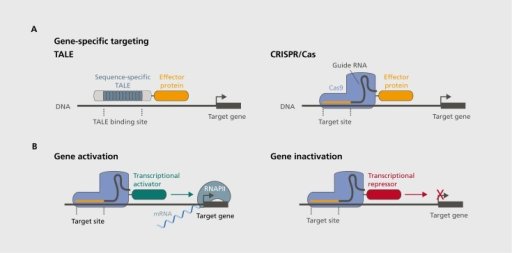 Sequence-specific gene modulation with designer DNA targeting tools. (A) transcriptional-activator like effectors (TALE) and clustered regularly interspaced short palindromic repeats (CRISPR)/Cas approaches are used to bind specific DNA sequences and serve as genomic anchors. TALEs use engineered protein sequences to confer sequence-specific binding to a targeted DNA site, whereas CRISPR accomplished this via a single guide RNA, which serves as a scaffold to recruit Cas9. With either approach, selected effector proteins that modulate gene function can be fused to engineered machinery, thereby providing localization to specific gene targets. (B) Fusion of generic transcriptional activators (left) or repressors (right) to sequence-specific machinery (shown here with the CRISPR/Cas system) results in selective gene expression modulation.