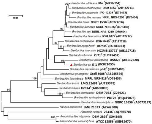 Phylogenetic dendrogram of Brevibacillus sp. S-1 and its related species based on 16S rRNA gene sequence similarities.The tree was constructed using the neighbour-joining method implemented in the program MEGA version 6. Bar, 0.01 nt substitutions per site.