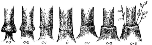 A range of citrus graft union shapes, presumably indicating rootstock-scion compatibility (reproduced from Webber, 1948; with permission).