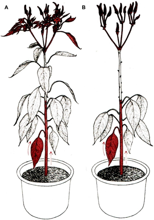 Mentor grafting. (A) Non-graft normal plant as control. (B) Mentor graft; scion leaves were removed in order to facilitate chromatin translocation from rootstock leaves and stems to the primordial organs of the scion. Arrows indicate the direction of chromatin translocation (reproduced from Ohta, 1991; with permission).