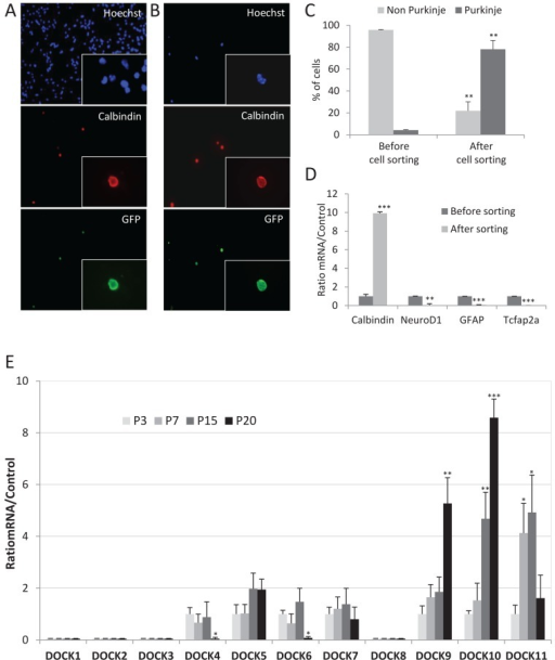 Gene expression profiling of all DOCK RhoGEFs in purified postnatal Purkinje neurons. (A, B) Sorting of GFP-expressing postnatal Purkinje neurons by FACS. Dissociated cells from cerebella of Pcp2-GFP mice at P3, P7, P15, and P20 were plated before (A) and after (B) sorting and fixed. Nuclei were stained with Hoechst stain to visualize the total cell number in the sample, and Purkinje neurons were revealed with a calbindin antibody (red) and by direct fluorescence of the GFP (green). Micrographs show representative sorting results of cerebellar cells from mice at P7. (C) Histogram representing the enrichment of Purkinje neurons within the cell population upon sorting, expressed as relative percentages. Data are expressed as mean enrichment value of all age groups combined ± SD of at least three independent experiments. **p < 0.01 (Student's t test). (D) RT-qPCR performed before and after FACS on the mRNA of specific marker genes of the main cerebellar cell types: calbindin (Purkinje cells), NeuroD1 (cerebellar granule neurons), GFAP (astrocytes), and Tcfap2a (interneurons). Data are expressed as mean ± SD of at least three experiments performed on P7 Pcp2-GFP mice in the example shown. **p < 0.01 and ***p < 0.001 (Student's t test). (E) RT-qPCR performed on purified PC mRNAs of all 11 mammalian DOCK-family RhoGEFs. Data are expressed as mean ± SD of at least three experiments. *p < 0.05, **p < 0.01, and ***p < 0.001 (Student's t test).