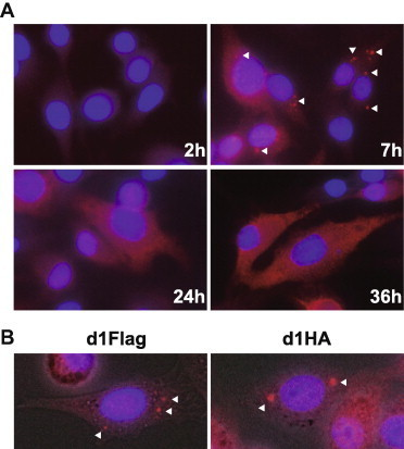 Translocation of tagged VP6 in the infected cells. (A) Flag-tagged VP6 was detected using anti-rabbit DDDDK antibody at 2, 7, 24, and 36 h post-infection with IBAV d1Flag at MOI of 0.5. Nuclei were stained with DAPI. Arrowheads indicate puncta formation of VP6. (B) Magnified images of BHK21A11 cells infected with either IBAVd1Flag (left) or IBAVd1HA (right) at 7 h post-infection. Nuclei were stained with DAPI. Arrowheads indicate puncta formation of VP6. Fluorescent images were merged with bright field images.
