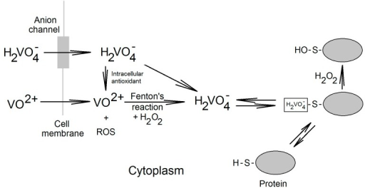 Vanadium compounds in the cell. Vanadyl and vanadate enters the cell by passive diffusion and through the anionic channels, respectively. Then, in the cytoplasm vanadyl cations may be subject to Fenton reaction in which vanadate is produced. Vanadate is reduced by intracellular antioxidants to vanadyl cations. Vanadate present in a cell does not occur in the cytoplasm, where it is bound to proteins with free cysteine residues. In the reaction with H2O2 the complexed vanadate irreversibly oxidizes cysteine residues.