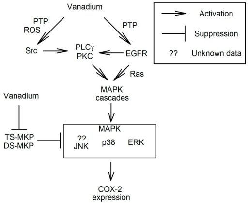 The mechanism of the activation of mitogen-activated protein kinase (MAPK) cascades in the expression of COX-2 by vanadium compounds. Vanadium compounds are the inhibitors of PTPs which directly affect the activity of Src, as well as epidermal growth factor receptor (EGFR) and MAPK. The activation of Src results in the phosphorylation of tyrosine residues on PLCγ. This process causes the binding of PLCγ to phosphorylated EGFR or to another receptor. This is followed by the transmission of the signal to PKC and consequently the activation of MAPK cascades. Vanadium compounds can activate MAPK cascades also by EGFR, independently of PLCγ.