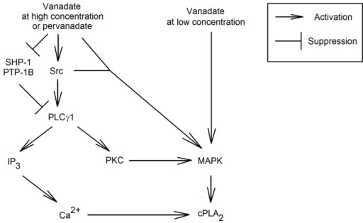 Activation of cPLA2 by vanadium compounds. Vanadium compounds at low concentrations activates MAPK cascades that phosphorylates cPLA2. At higher concentrations of vanadium compounds activate Src, which phosphorylates PLCγ1. This process causes the release into the cytoplasm of IP3, which causes the activation of Ca2+ channels and the ion influx into the cytoplasm. This PLCγ1 also activates MAPK cascades. By increasing the concentration of Ca2+ and the activation of the MAPK cascades is activated cPLA2.