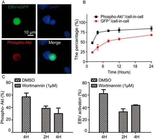 Autonomous activation of EBV inside CNE-2 cells depends on the PI3K/AKT signaling pathway. (A) GFP-Akata cells were co-cultured with CNE-2 cells for 12 h and the phosphorylation of AKT inside GFP-Akata cells was detected by immunofluorescence staining using anti-phospho-AKT antibody followed by DAPI staining. The images were captured under confocal laser scanning microscope. (B) Proportional kinetics of phospho-AKT+ GFP-Akata and GFP+ CNE-2 cells within cell-in-cell structures. GFP-Akata cells were co-cultured with CNE-2 cells. The percentages of phospho-AKT+ GFP-Akata and GFP+CNE-2 cells were analyzed by confocal laser scanning microscopy at the indicated times. The experiments were performed three times independently. (C) The PI3K signaling inhibitor Wortmannin was added to the culture medium after cell-in-cell structure formation (2 or 4 h after co-culture of GFP-Akata and CNE-2 cells). The percentages of phospho-AKT+ GFP-Akata cells (left) and GFP+ GFP-Akata cells (right) within cell-in-cell structures were determined by fluorescence microscopy 24 h after the treatment.