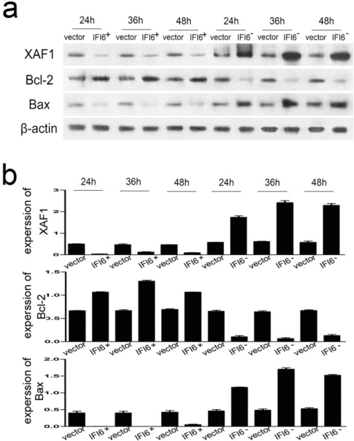 IFI6 influences the expressions of XAF1, bcl-2 and bax.(a) Recombinant cells were infected by DENV2 (MOI = 4) for 24, 36 and 48 hrs. Immunoblotting was used to detect the expression of XAF1, Bcl-2 and Bax in IFI6 over-expression or knock-down cell lines. (b) Quantitative data in panel a. The results shown were from three independent experiments.
