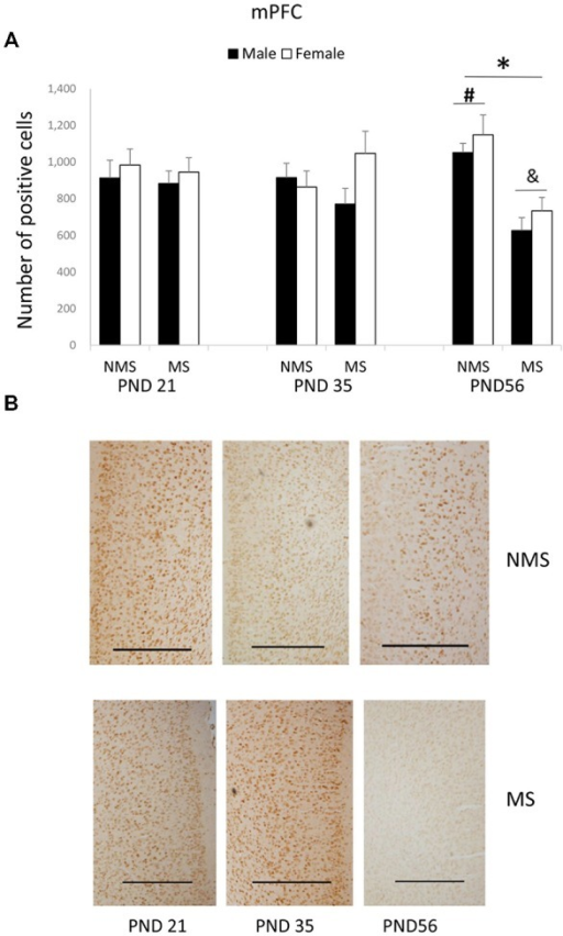 Effects of MS on the BDNF expression in the mPFC, including the effects of MS on the BDNF expression at different ages (A) and representative IHC figures (B). The results are expressed as the mean ± S.E.M. (*compared with PND 56 NMS rats, p < 0.05; #compared with PND 35 NMS rats, p < 0.05; &compared with PND 21 and PND 35 MS rats, p < 0.05). Scale bar = 500 μm.