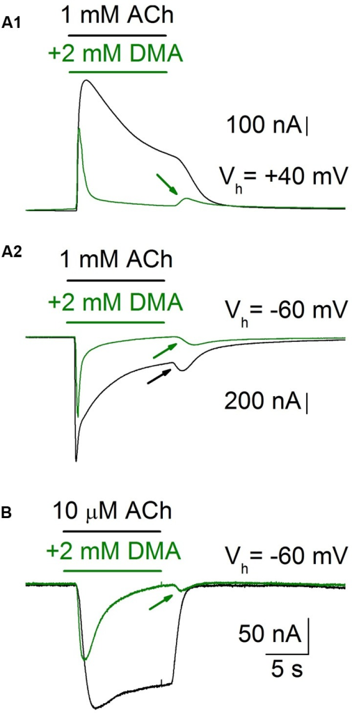 IACh rebound elicited by DMA washout. When an oocyte was challenged with a high ACh concentration (1 mM), while holding its membrane potential at -60 mV (Vh = -60 mV), the IACh showed a marked desensitization and a noticeable rebound-current (A2, black recording and arrow) when the agonist was rinsed. By contrast, both when applying the same ACh concentration to the cell at a membrane potential of +40 mV (A1, black recording), or when decreasing the ACh concentration to 10 μM (B, black recording), the IACh rebound was not evoked. However, when ACh was co-applied with 2 mM DMA the IACh rebound was evident at any potential or ACh concentration tested (A1,A2,B, green recordings and arrows).