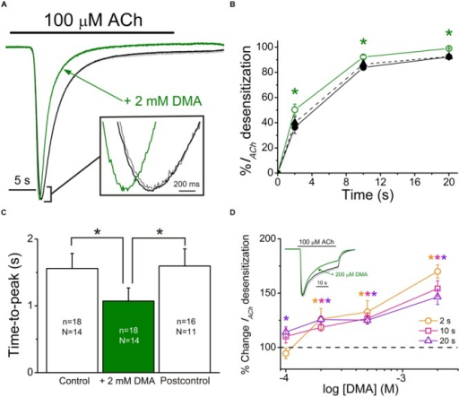 2,6-Dimethylaniline effects on IACh decay and time-to-peak. (A) Superimposed IACh recordings evoked by application of 100 μM ACh either alone (black recoding) or plus 2 mM DMA (green recording) and by re-applying 100 μM ACh alone 7 min after DMA washout (Postcontrol, gray trace overlapping the control one). Note that all IACh amplitudes have been scaled to the same size to better showing differences on IACh desensitization. Inset shows, at an expanded temporal scale, the IACh peaks elicited by ACh either alone or co-applied with DMA. (B) Plots showing the percentage of IACh decay obtained at different times (2, 10, and 20 s) after IACh peak. Data were measured from recordings as those shown in (A), by applying 100 μM ACh either alone (Control, filled circles and continuous black line; Postcontrol, filled triangles and dashed black line) or plus 2 mM DMA (open circles and continuous green line). (C) Column graph showing the IACh time-to-peak values when applying 100 μM ACh either alone (Control and Postcontrol, empty columns) or together with 2 mM DMA (filled green column). Values of n and N, given in each column, are common to (B,C); in both panels, asterisks indicate significant differences among groups (p < 0.05, ANOVA and Bonferroni t-test). (D) Plot displays the DMA dose-dependence of IACh decay hastening. Desensitization values (Dtis) at 2 (orange), 10 (pink) and 20 s (violet) from IACh peaks, elicited by co-applying 100 μM ACh with 100, 200, 500, or 2000 μM DMA, were expressed as percentage respect to their control Dtis and plotted against the log of DMA concentration. Each point is the average of 4–12 oocytes from three frogs. Asterisks of different colors indicate significant differences respect to the control values for the color-coded time (p < 0.05, one sample t-test). Inset shows superimposed recordings evoked by 100 μM ACh either alone or together with 200 μM DMA; recording colors are as in (A) and IACh amplitudes have also been scaled to the same size.