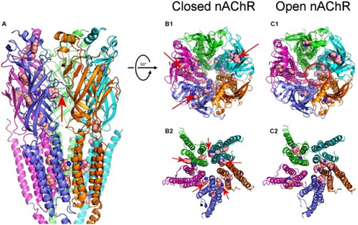 Modeling of DMA binding to nAChR EC- and TM-domains in the open and closed states. (A) Lateral view, in the membrane plane (top corresponding to the EC side) of nAChR, in the closed state, with bound DMA molecules. Subunits are colored for this and following panels as follows: α1 (blue), α2 (cyan), β (magenta), γ (orange), and δ (green). DMA molecules are colored brown and represented as van der Waals spheres. Notice that DMA binds both at the EC and TM domains. The red arrow indicates the orthosteric binding site at the α1-γ interface. (B1,C1) Top view (from the synaptic cleft) of nAChR structures in the closed (B1) and open (C1) states with bound DMA molecules. Note that, when closed, at the EC domain, DMA binds to intrasubunit loci (arrows in B1), mainly located on α1, α2 and β subunits, whereas at the TM domain DMA preferentially interact with residues located at intersubunit crevices. Also note that DMA binds within the channel pore only on nAChRs in the open state (red circle in C1). (B2,C2) Expanded top view of nAChR TM domains in the closed (B2) and open (C2) states with bound DMA. Note that whereas in the closed state DMA binds at all intersubunit assemblies (arrows in B2), in the open state these binding sites were less favored.