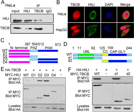 HILI interacts with TBCB.(A) Endogenous interaction between HILI and TBCB. (B) Immunofluorescence assays showed that HILI and TBCB were mainly overlapped in cytoplasm. (C) Schematic of HILI deletion mutants. (D) Schematic of TBCB deletion mutants. (E) Interaction between TBCB and different MYC-tagged HILI mutants. (F) Interaction between HILI and different MYC-tagged TBCB mutants.