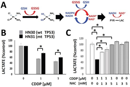Cisplatin triggers a rapid, concentration dependent decrease in cellular lactate productionA. Model of the hypothesized effects of CDDP on lactate production. The chloride (Cl) moieties are replaced upon exposure to glutathione (GSH), inactivating CDDP. Regeneration of GSH utilizes secondary reducing equivalents (NAD(P)H) and decreases the conversion of pyruvate into lactate. B. CDDP induced a concentration-dependent decrease in cellular lactate levels at 1hr following drug exposure. HN30 cells demonstrated approximately 25% greater decrease in lactate levels compared to their mutant TP53 counterpart, HN31, at each concentration. C. HN30 were exposed to CDDP [1μM] in the presence or absence of N-acetyl cysteine (NAC) [1-5mM]. Lactate levels were measured at 1hr following drug exposure. * indicates p-value < 0.05 compared to corresponding control condition. All values were normalized to corresponding control condition. Each experiment was carried out at least in triplicate, with values indicating means and error bars representing standard deviation.
