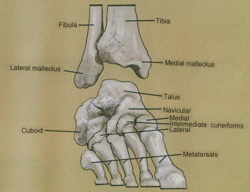fibula; lateral malleolus; cuboid bone; tibia; medial m | Open-i