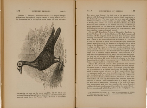 <p>Image of facing pages (p. 174-175) from The variation of animals and plants under domestication / by Charles Darwin. New York : Orange Judd &amp; Co., 1868. P. 174 shows an illustration of an English carrier pigeon. P. 175 is text.</p>