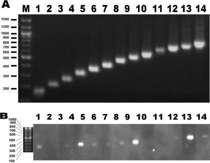 Agarose gel electrophoresis of RDA products with PCR products used for probes for hybridization (A) and a hybridized fluorogram (B). RNA was extracted from SARS-CoV-infected cells and subjected to RDA according to the method described in Materials and Methods. Mock-infected cells were used for the synthesis of driver amplicons for RDA. One-twentieth of the volume of the amplified products was separated on 3% agarose gels and blotted on a Nylon membrane. The membrane was then cut into slits that contained the lane showing the presence of DNA. On the other hand, the PCR fragments predicted to be amplified in the RDA reaction were amplified and subsequently ascertained by agarose gel electrophoresis (A). The amplified genomic fragments of SARS-CoV were Dig-labelled and used as probes for hybridization to each slit of the Nylon membrane containing the RDA product. Hybridization was performed in separate hybridization bags. After washing with 1× SSC and 0.1% SDS solution, the hybridized probes were detected on a fluorogram (B). Positions and sizes (bp) of markers are present on the left.