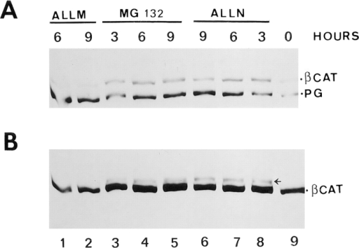 Expression of β-catenin and plakoglobin in cells  treated with inhibitors of the ubiquitin-proteasome system. (A)  HT1080 cells were treated for 2 h with proteasome inhibitors  (MG 132 or ALLN), or with the inactive analogue ALLM, as described in Materials and Methods, and then induced to express  plakoglobin with dexamethasone in the presence of the inhibitors. At different times after dexamethasone stimulation, equal  amounts of total cell lysate were analyzed for β-catenin and plakoglobin expression by immunoblotting as described in Fig. 8.  (B) The immunoblot for β-catenin was overexposed to reveal the  higher molecular mass forms of β-catenin (arrowhead, probably  ubiquitinated) formed in the presence of the proteasome inhibitors.