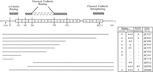 Schematic representation of plakoglobin functional domains involved in reducing β-catenin levels and in complexing with  α-catenin and N-cadherin. Full-length human plakoglobin (745 amino acids) is shown with the 13 armadillo repeats and the different deletion mutants from the NH2 (ΔN) and COOH terminus (ΔC) used in this study. The binding studies to α-catenin and N-cadherin of the  various plakoglobin mutants were described (Sacco et al., 1995; Wahl et al., 1996). The binding sites for the monoclonal antibodies 11E4  and PG 5.1 used in this study are also indicated.