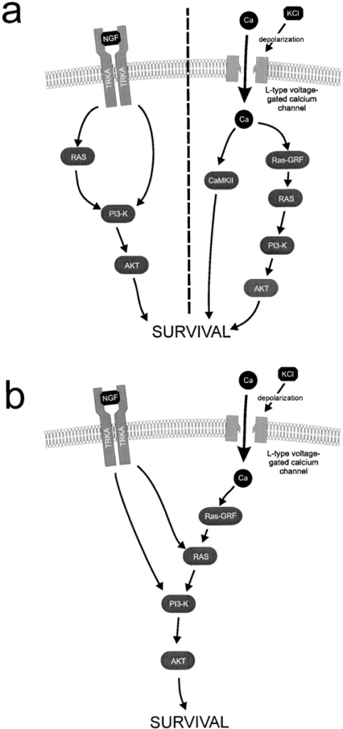 Proposed models for signal-transduction pathways mediating survival in NGF or KCl alone (a) or synergistically in the presence of both NGF and KCl (b). a, Illustrates the proposed pathways that support sympathetic neuron survival when either NGF or KCl are alone. b, Illustrates the proposed convergence onto the Ras–PI3-kinase–Akt pathway that is essential for the synergistic survival seen at concentrations of NGF and KCl, which on their own are not sufficient for maximal survival.
