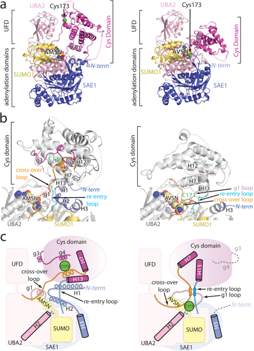 Structural changes in SUMO E1 accompany transitions from adenylate to tetrahedral intermediatea, Ribbon representation for the SUMO E1/SUMO1-AMSN adenylate analog (left) and SUMO E1~SUMO1-AVSN tetrahedral intermediate analog (right). Atoms for the catalytic cysteine (Cys173), AMSN and AVSN shown as spheres with E1 domains and SUMO color-coded and labeled. N term, N-terminus. b, Elements in SUMO E1 that undergo conformational changes are color-coded and labeled. N term, N-terminus. Similar regions in E1 structures are colored gray and SUMO1 is colored yellow. c, Cartoon representation of the structures color-coded and labeled as in a and b highlighting elements that undergo remodeling.