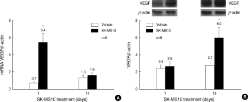 Effects of SK-MS10 on the expression of VEGF. (A) The relative mRNA expression of VEGF. (B) Western blot analysis for VEGF. Results are mean±SE in 6 animals per group. *P value <0.05 when compared with the vehicle treated group.