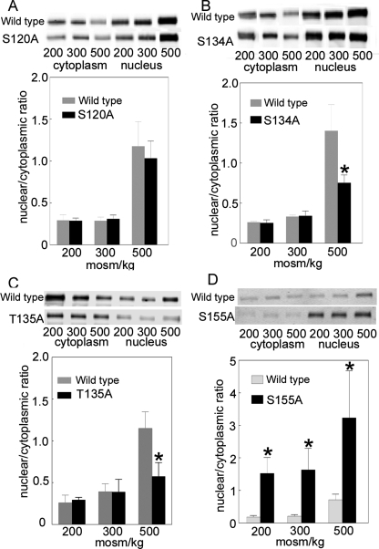Effect on its nuclear to cytoplasmic ratio of mutating to alanine TonEBP/OREBP-V5- (A) S120, (B) S134, (C) T135, or (D) S155. HEK293 cells were transiently transfected with wild-type TonEBP/OREBP-V5 or a mutant at 300 mOsm/kg, and then the osmolality was changed to 200, 300, or 500 mOsm/kg by varying NaCl for 1 h. The relative amounts of TonEBP/OREBP-V5 in the cytoplasmic and nuclear fractions and the nuclear/cytoplasmic ratio were calculated from Western blots with anti-V5 antibody (mean ± SEM, *P ≤ 0.05, n = 3).