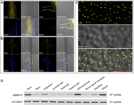 Nuclear localization and expression pattern of AtBMI1C. (A) Images of roots from transgenic seedlings harboring YFP driven by the CaMV35S promoter. (B) Images of roots from transgenic seedlings harboring YFP-tagged AtBMI1C driven by the CaMV35S promoter. Scale bar (red), 100 µm. (C) Images of petals from transgenic plants harboring YFP-tagged AtBMI1C driven by the CaMV35S promoter. Scale bar (red), 50 µm. (D) The expression pattern of AtBMI1C in seedlings and different organs was analyzed by semiquantitative RT-PCR.