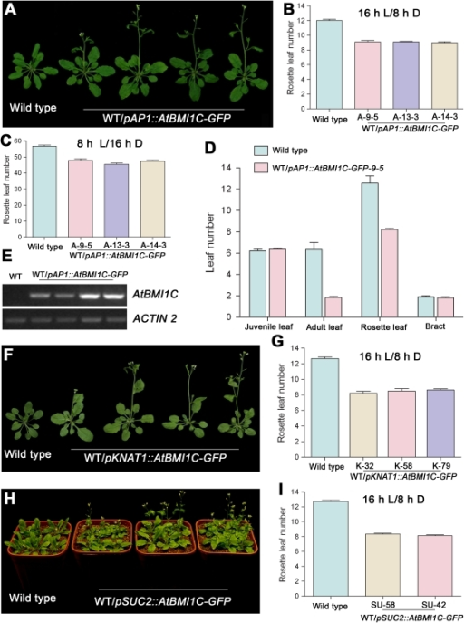 Tissue-specific AtBMI1C overexpression promotes flowering in Arabidopsis.(A) Morphology of transgenic plants carrying pAP1::AtBMI1C-GFP grown under LD conditions for 28 days. The plants showed an early flowering phenotype compared with wild type. A total of 18 out of 72 independent T1 lines showed an early flowering phenotype. A few lines were chosen for the following experiments. (B) and (C) Determination of flowering time in transgenic plants containing pAP1::AtBMI1C-GFP grown under LD and SD conditions using three AtBMI1C transgenic lines as representatives. The number of rosette leaves was determined after bolting. (D) Vegetative phase transition in transgenic plants containing pAP1::AtBMI1C-GFP grown under LD conditions. Juvenile, adult, rosette, and cauline leaves were counted after flowering. Juvenile and adult leaves were distinguished based on the presence of trichomes on their abaxial surface. (E) AtBMI1C expression in transgenic lines carrying pAP1::AtBMI1C-YFP. Total RNA was extracted from leaves of pAP1::AtBMI1C-GFP and wild-type plants. AtBMI1C expression was measured by semiquantitative RT-PCR using ACTIN2/7 as an internal control. (F) Morphology of transgenic plants carrying pKNAT1::AtBMI1C-GFP grown under LD conditions for 28 days. The plants showed an early flowering phenotype compared with wild type. A total of 20 out of 108 independent T1 lines showed an early flowering phenotype. (G) Determination of flowering time in transgenic plants containing pKNAT1::AtBMI1C-GFP grown under LD conditions. The number of rosette leaves was determined after bolting. (H) Morphology of transgenic plants carrying pSUC2::AtBMI1C-GFP grown under LD conditions for 28 days. The plants showed an early flowering phenotype compared with wild type. A total of 24 out of 108 independent T1 lines showed an early flowering phenotype. (I) Determination of flowering time in transgenic plants containing pSUC2::AtBMI1C-GFP grown under LD conditions. The number of rosette leaves was determined after bolting.