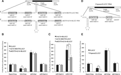 Figure 5:miR-122 activates hepatitis C virus translation ...