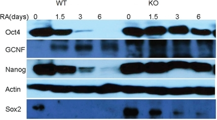 Western blots for 4 proteins and actins.Oct4 and Nanog levels exhibit quite strong decrease for WT cells and very slow decrease for GCNF-KO cells. Sox2 levels vanish after 1.5 days for WT cells and slowly decrease for GCNF-KO cells. GCNF levels are initially low, peak at day 3 and fall back on day 6 for WT cells. For GCNF-KO cells, GCNF levels naturally vanish.