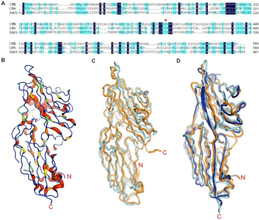 Structural aligment of ClfB, ClfA and SdrG.A. Sequence aligment of ClfB (amino acids 212–550), ClfA (amino acids 229–544) and SdrG (amino acids 117–441). Residues displaying 100% and 50% identity are shown in dark blue and light blue, respectively. F406 in ClfB is marked by red star. B. Ribbon representation of ClfB, with conserved residues colored from red to green following the order from highly conserved to less conserved. C. Superimposition of apo-ClfB and apo-SdrG, colored in orange and cyan, respectively. D. Superimposition of ClfB-Fg α, SdrG-Fg β and ClfA-Fg γ complexes. The SdrG-Fg β and ClfB-Fg α are colored as in Figure 3C. The ClfA-Fg γ complex is colored in blue.