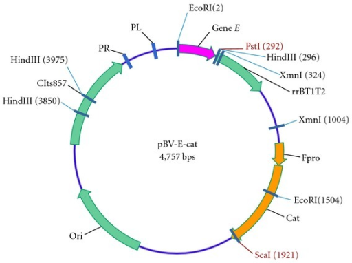 Physical map of the lysis plasmid pBV E cat. Gene E, under transcriptional control of the temperature-sensitive repressor; rrBT1T2: ribosome rrnB gene providing translation stop signal terminator sequence; pro: the regulating sequence including promoter; cat: chloramphenicol acetyl transferase gene; ori: replication origin; cIts857: restraining gene of lambda bacteriophage adapted to heat induced expression.