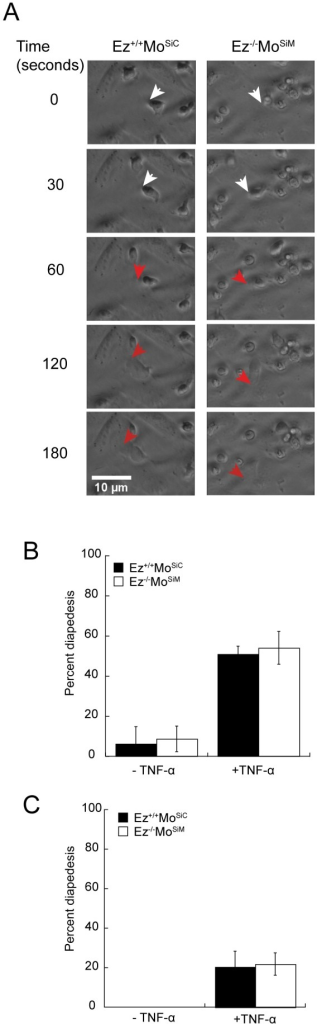 ERM-deficient cells undergo efficient diapedesis in vitro.(A,B) Diapedesis under static conditions. Confluent monolayers of 3B-11 endothelial cells were pre-treated with or without TNFα to upregulate VCAM-1, and wild-type or ERM-deficient T cells were added to the apical surfaces. Cells were imaged in an environmental chamber every 30 seconds for 2 hours. (A) DIC images of cells undergoing diapedesis. Arrowheads indicate leading edges of migrating T cells. White arrows indicate cells migrating along the apical surface of endothelial cells; the same cells are marked with red arrows after passing below the endothelial cell layer. (B) Quantitative analysis of assays carried out as in A. Cells undergoing diapedesis are quantified as a percentage of total moving cells. Data represent mean ± StDev from six experiments. (C) Diapedesis under shear flow conditions. Confluent monolayers of 3B-11 endothelial cells were grown in flow chambers, pre-treated with or without TNFα to upregulate VCAM-1, and wild-type or ERM-deficient T cells were added to the apical surfaces and allowed to interact with endothelial cells under shear stress of 0.5 dyne/cm2. Cells were imaged every 30 seconds for 1 hour, and the percentage of moving cells that underwent diapedesis was determined. Data represent mean ± StDev from three experiments.