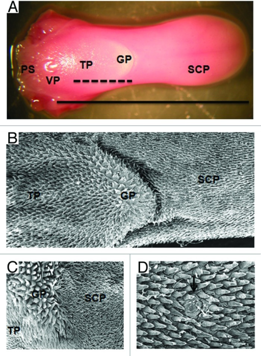 Figure 1 Morphological Features Of The Murine Tongue Open I