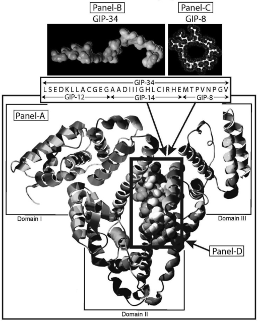 (A). A three-dimensional v-shaped helix/ribbon computer model of human alpha-fetoprotein (HAFP) is displayed. GIP-34 amino acid buried segment (D) is shown in the black boxed configuration. Minimal energy computer model of GIP-34 and GIP-8 and their amino acid sequences are displayed above the v-shaped HAFP model (B and C).